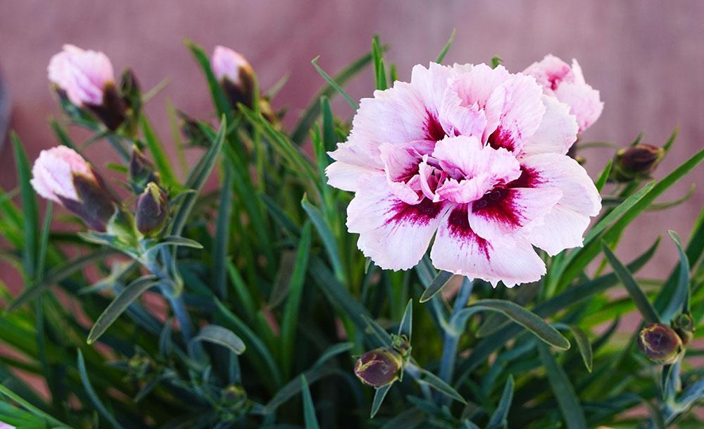 Planta de Dianthus caryophyllus