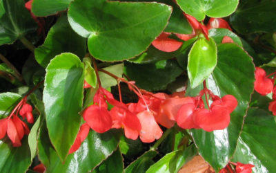 Begonia Dragon Wing