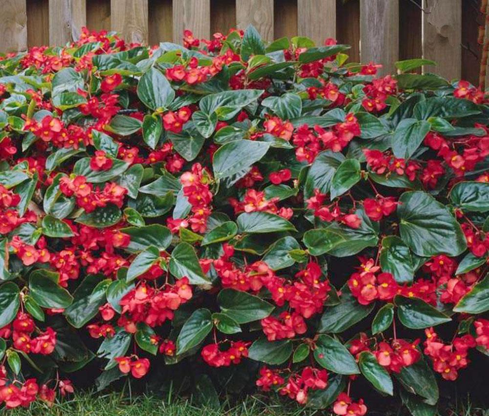 Begonia dragon Wing en jardín