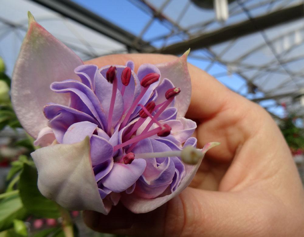 Fuchsia hybrida en Hortplant