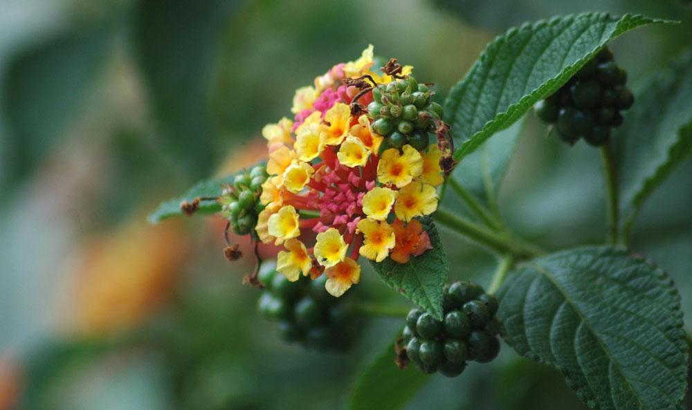 Flor y fruto en Lantana camara