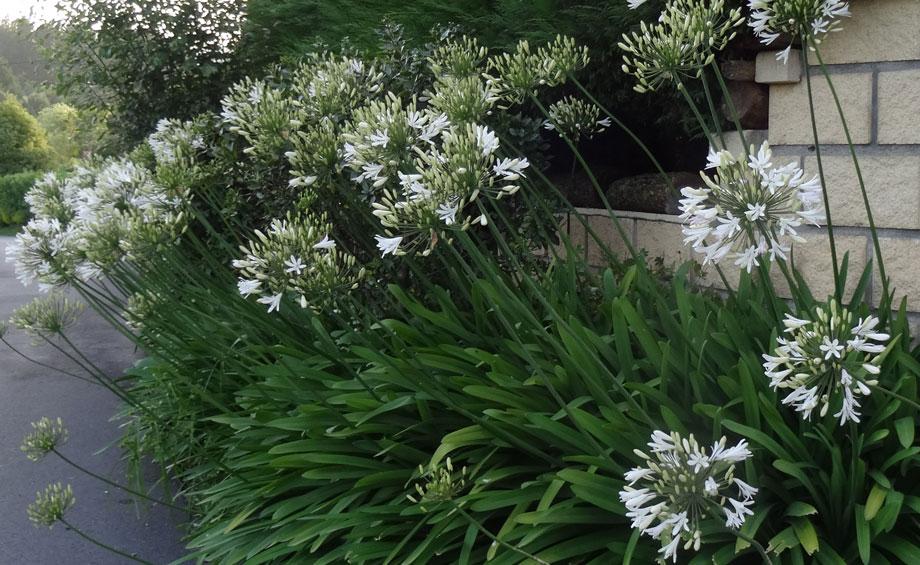 Agapanthus africanus blanco