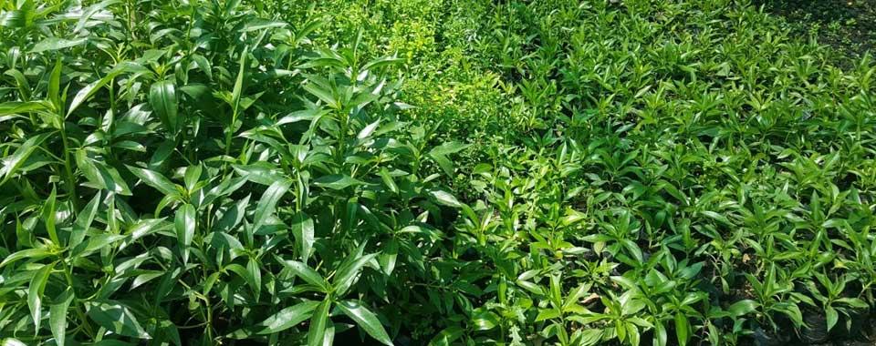 Myoporum en cultivo