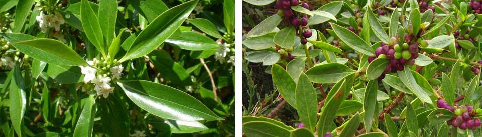 Myoporum, flor y fruto