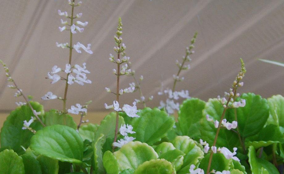 Plectranthus australis, flores