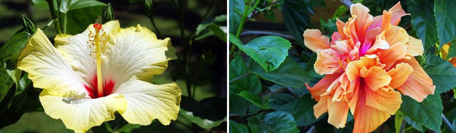 Hibiscus rosa-sinensis MaQu