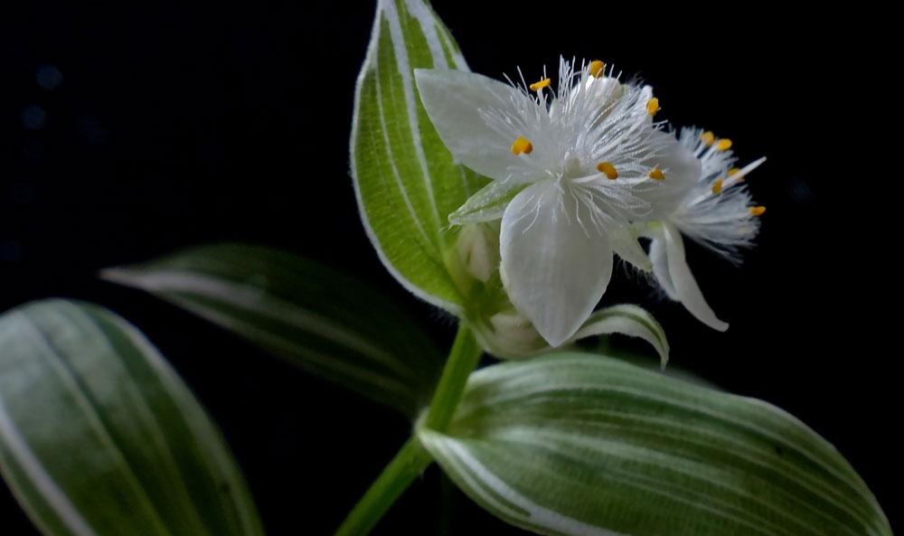 Flores de Tradescantias