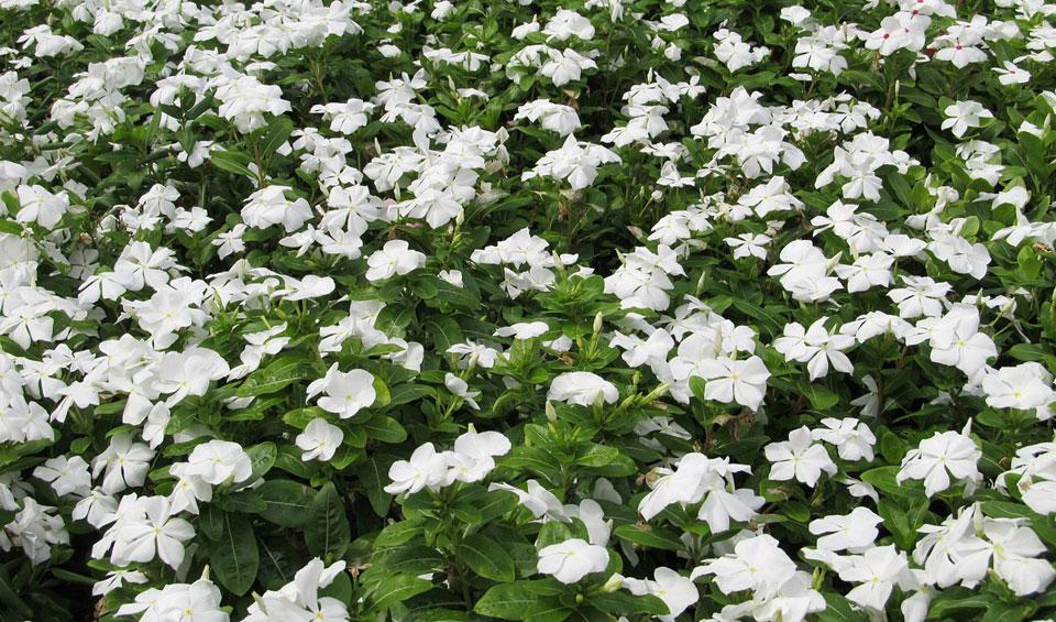 Macizo de Vinca rosea de flores blancas