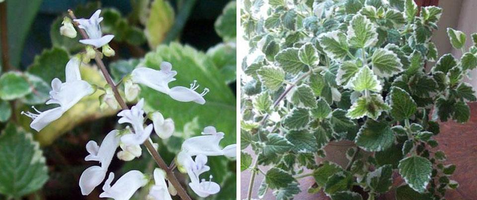 Flor y follaje del Plectranthus coleoides