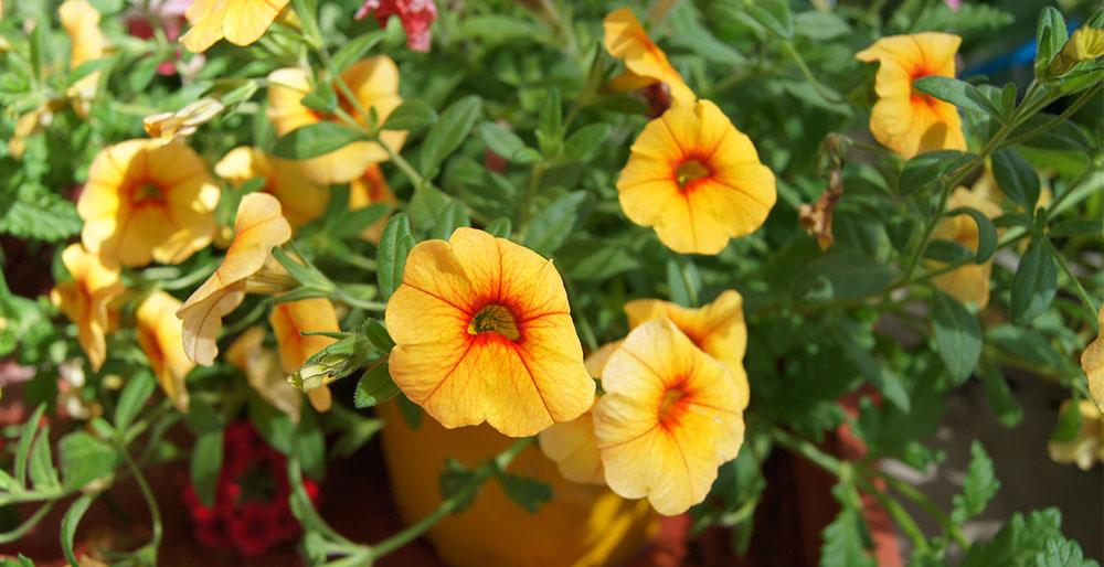 Flores de Calibrachoa