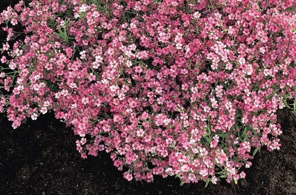 Gypsophila muralis en jardín