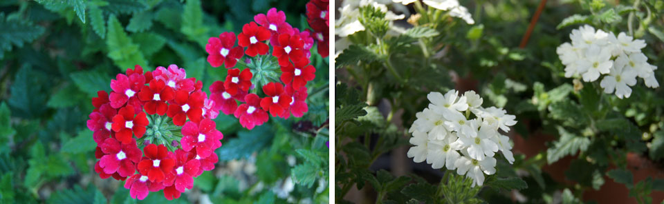 Verbenas hybridas de la Coleccion MaQu de Poleplants