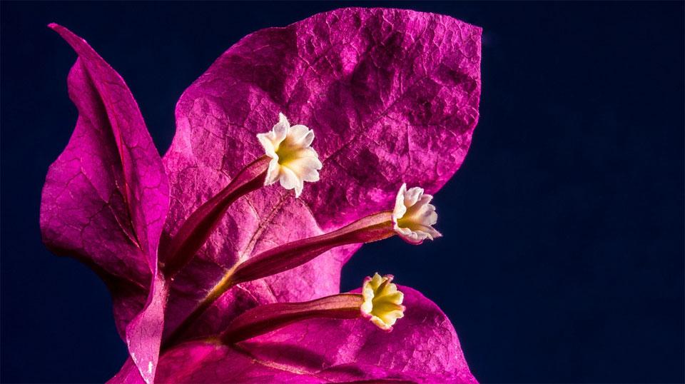 Flores de Bougainvillea sp.