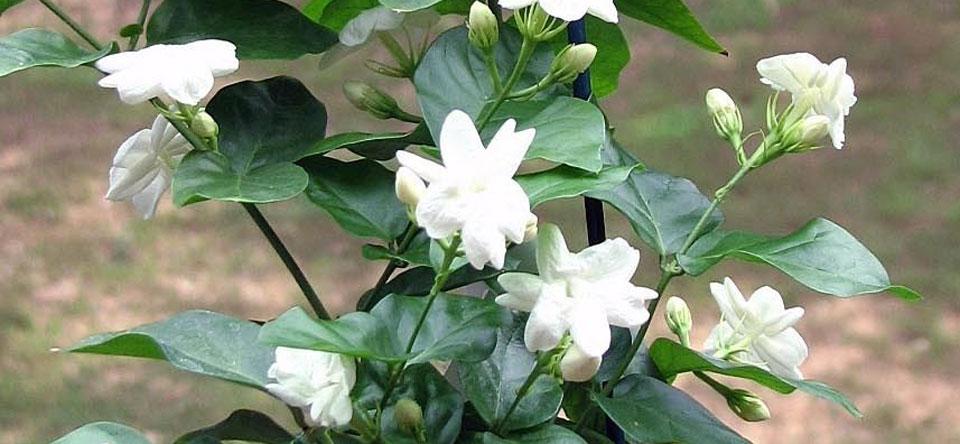 Flores de Jasminum sambac