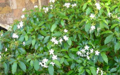 Jasminum sambac