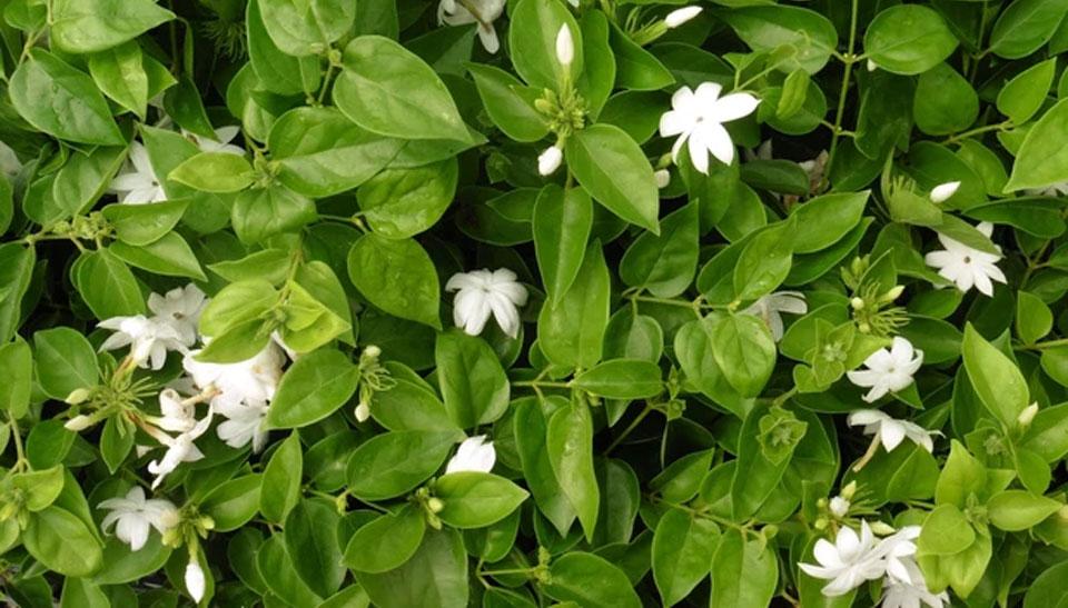 Jasminum sambac, follaje y flores