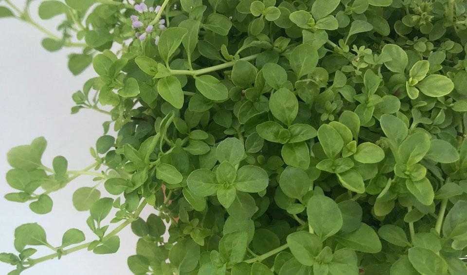 Planta de Mentha pulegium