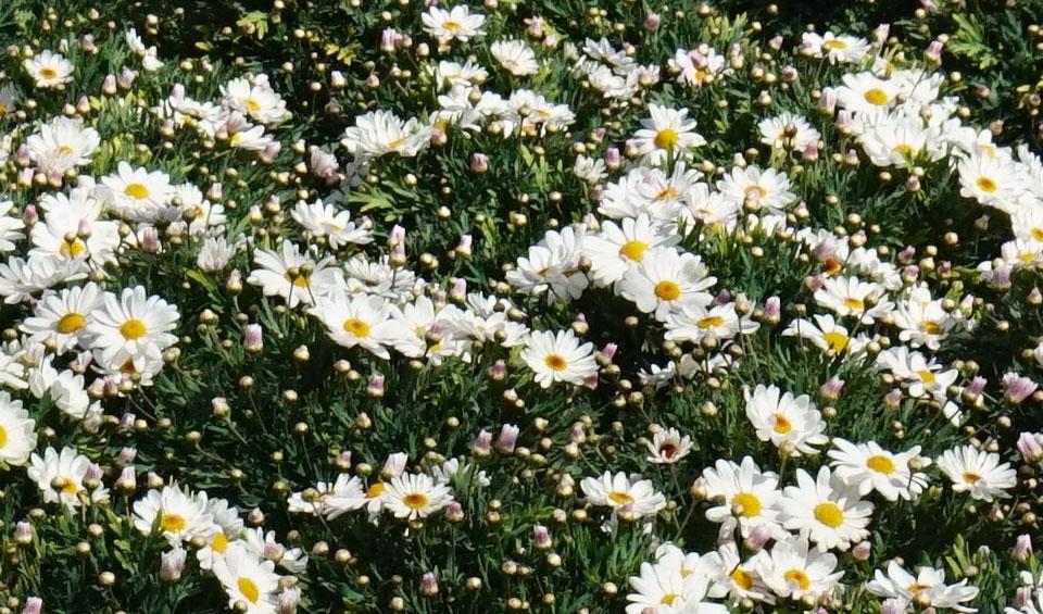 Argyranthemum frutescens Elsa