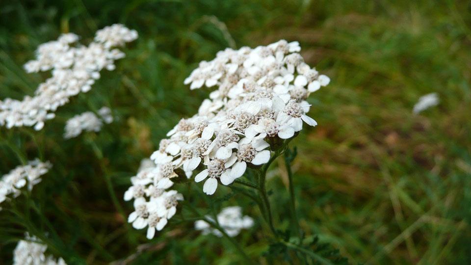 Achillea millefolium de flores blancas