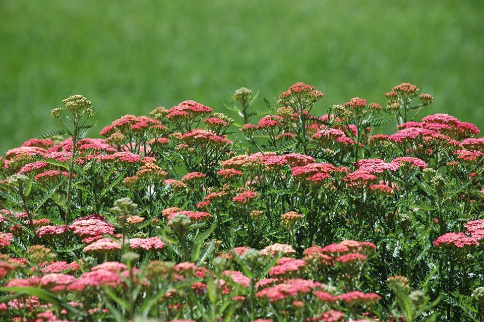 Achillea millefolium de flor roja