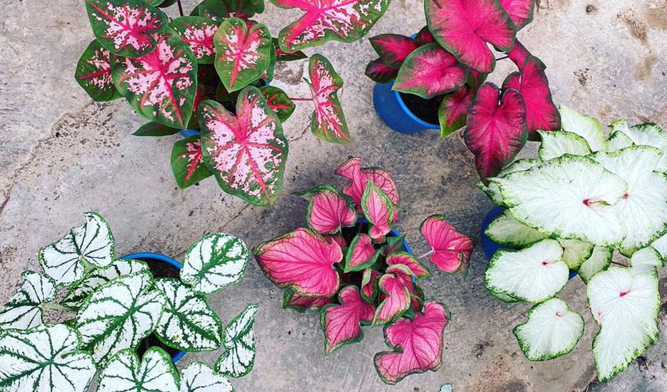 Colección Caladium de Poleplants