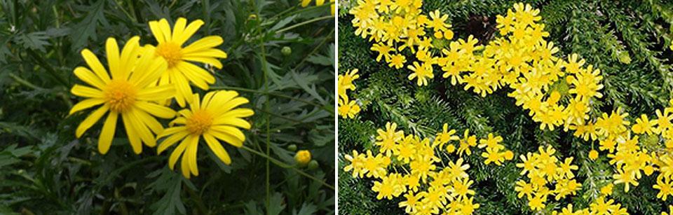 Euryops chrysanthemoides y Euryops virgineus