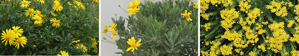 Euryops chrysanthemoides, Euryops pectinatus  y Euryops virgineus