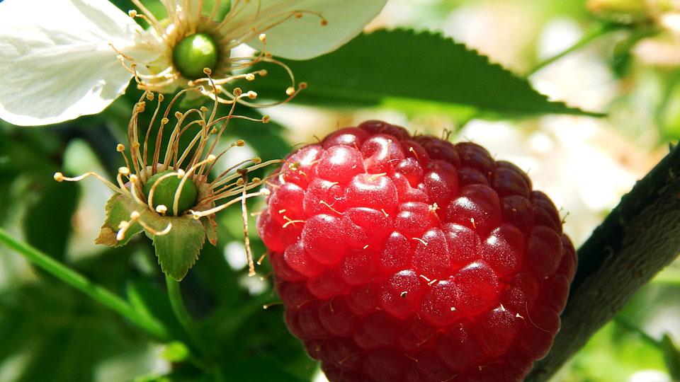 Flor y fruto del frambueso