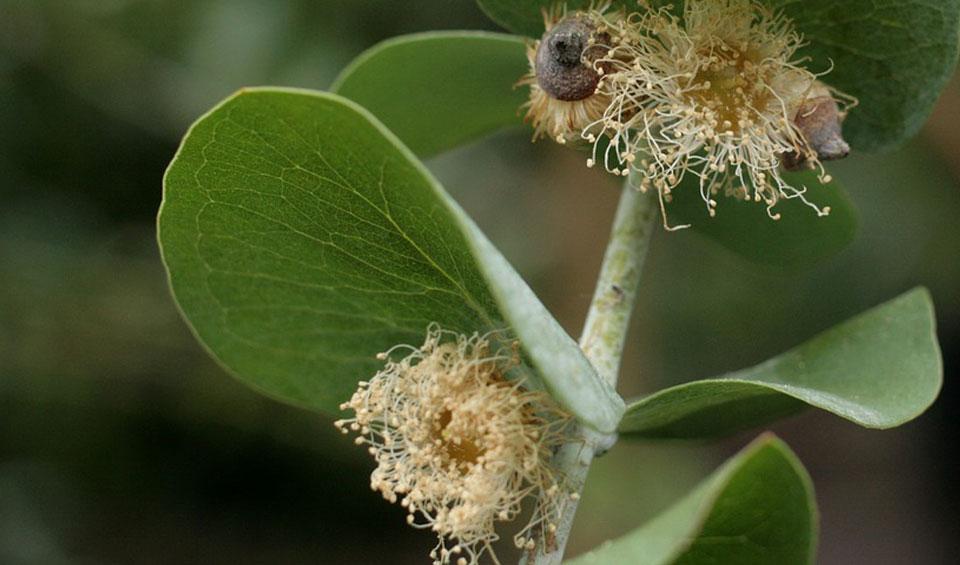 Eucalyptus gunny, flores