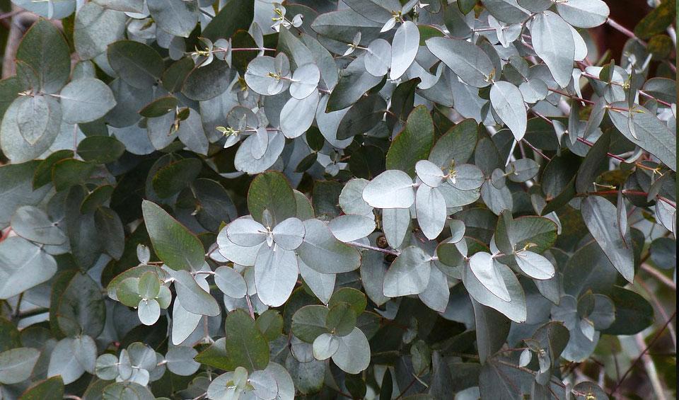 Eucalyptus gunny, follaje
