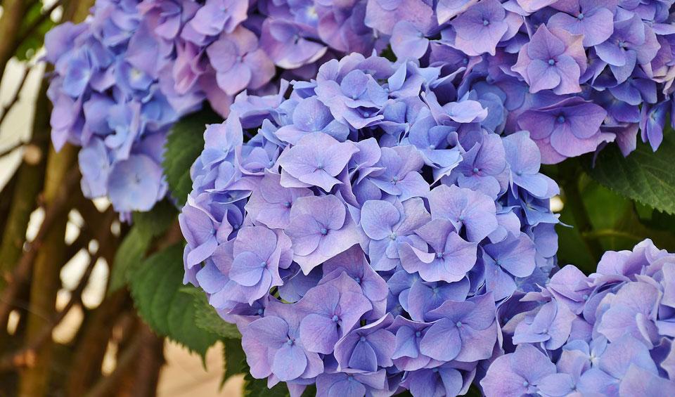 Hortensia macrophylla azul