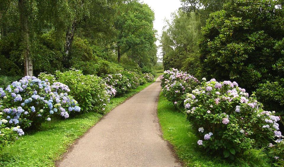 Hortensia macrophylla en camino