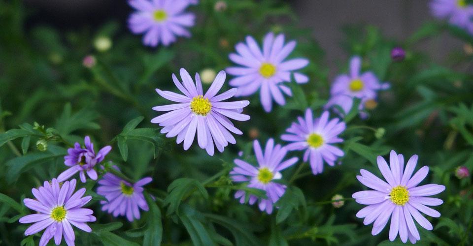 Brachyscome angustifolia 'Brasco Violet'