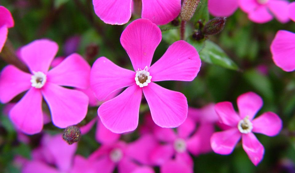 Silene pseudatocion, flor
