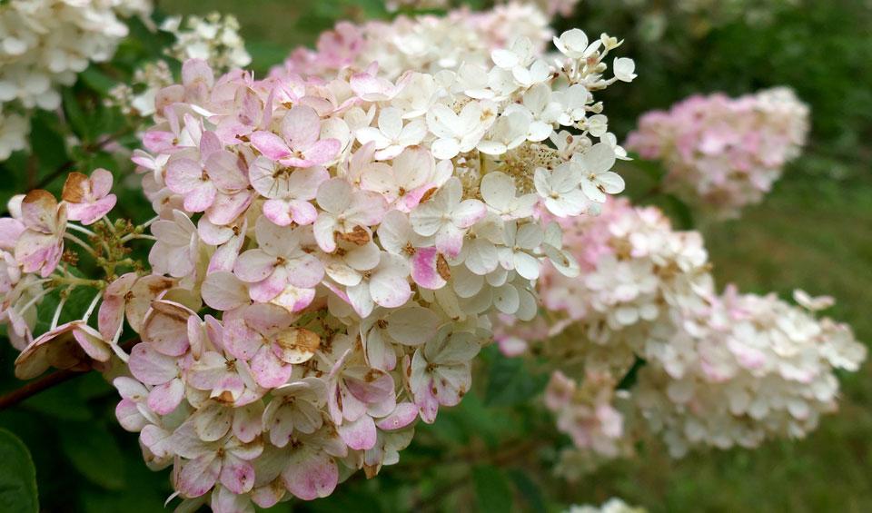 Hydrangea paniculata rosa