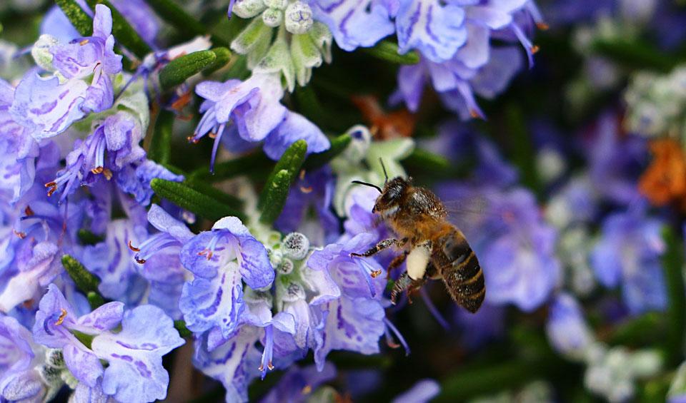 Flor azul de Rosmarinus officinalis