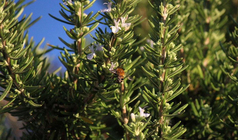 Rosmarinus officinalis con floración blanca