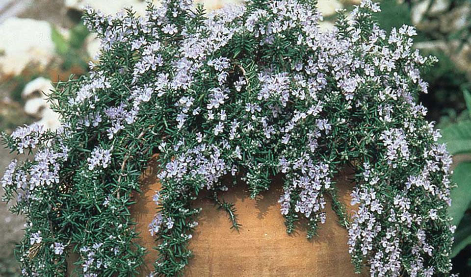 Rosmarinus officinalis 'Prostrata' de porte colgante