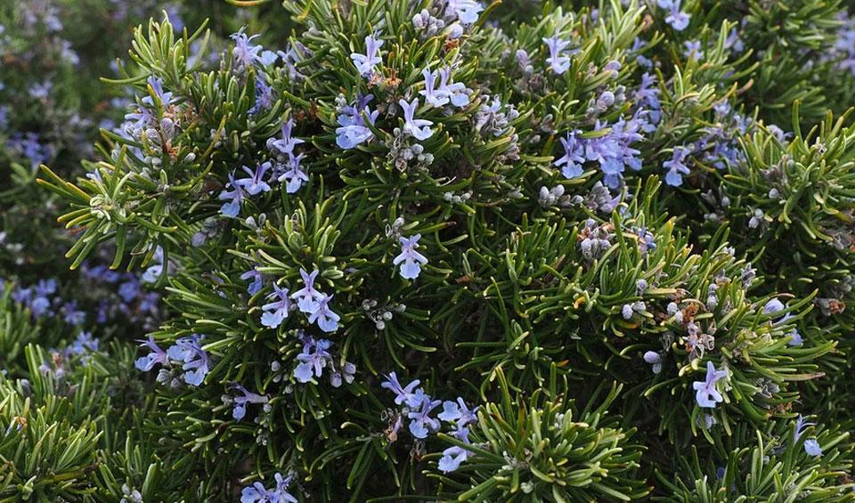 Rosmarinus officinalis en floración azul