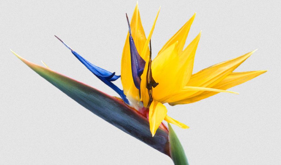 Strelitzia reginae flor amarilla