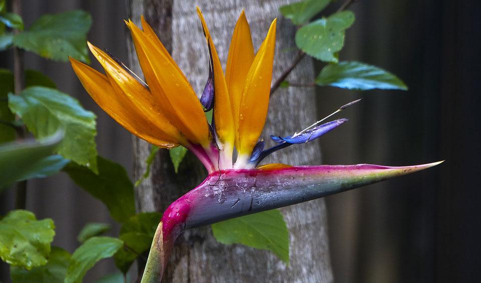 Strelitzia reginae de flor naranja