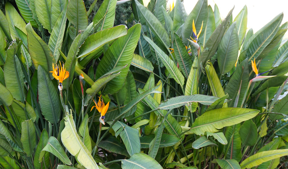 Strelitzia reginae, grupo