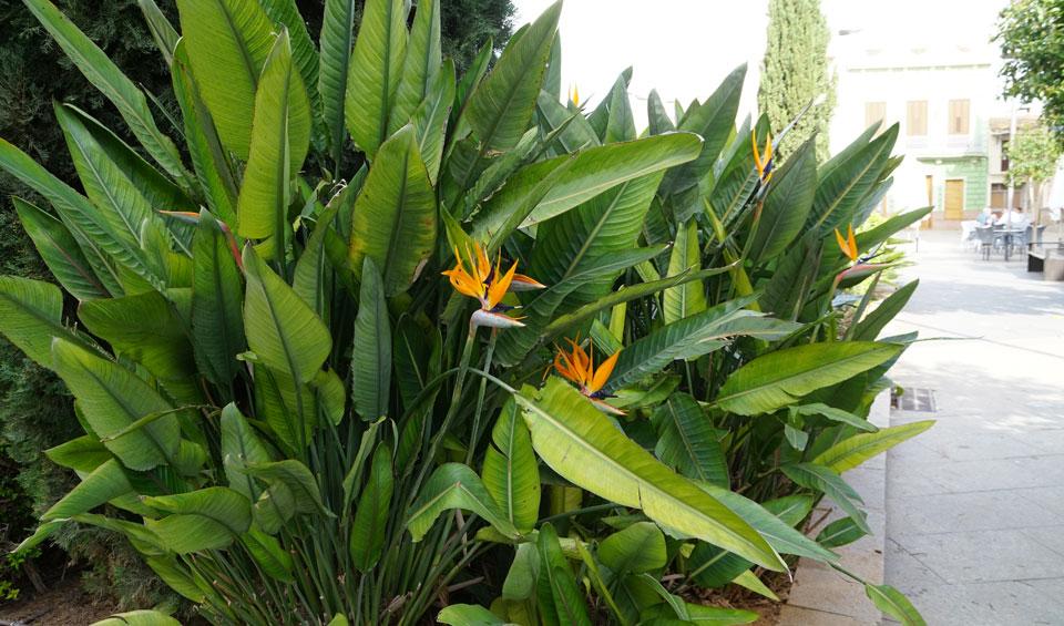 Strelitzia reginae en jardín de plaza