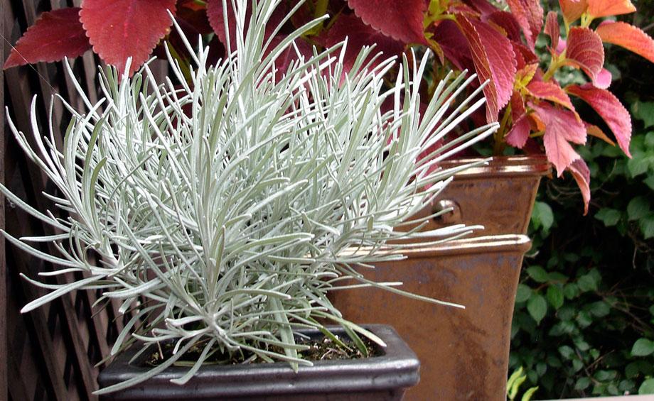 Contrastes con Helichrysum thianschanicum