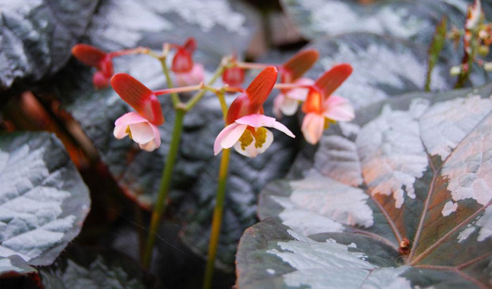 Begonia rex, flores