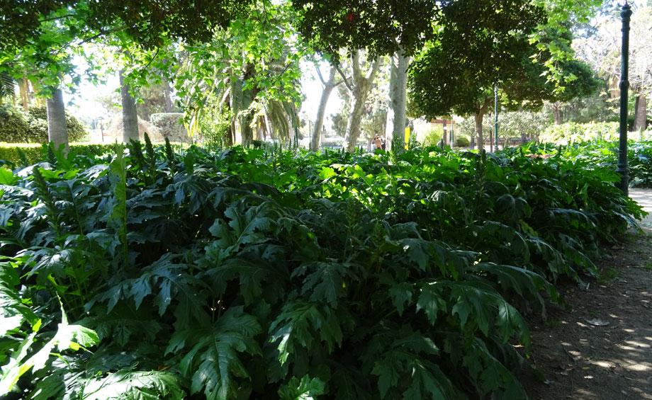 Acanthus mollis en jardin