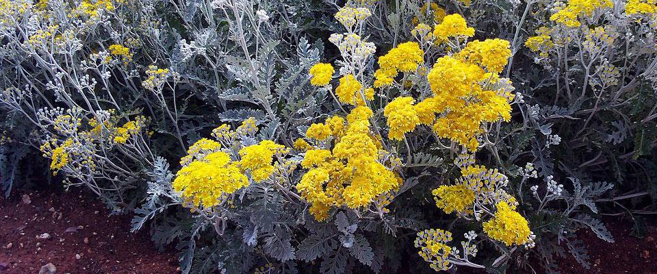 Cineraria maritima, floración