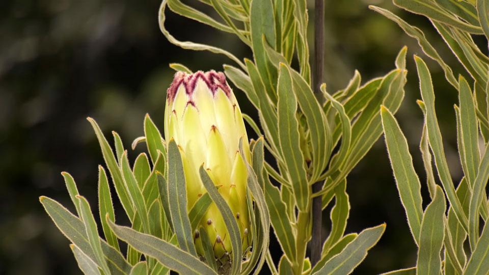 Flor de Protea
