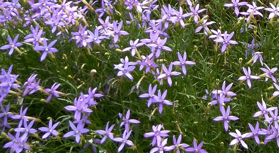 Laurentia axillaris en azul