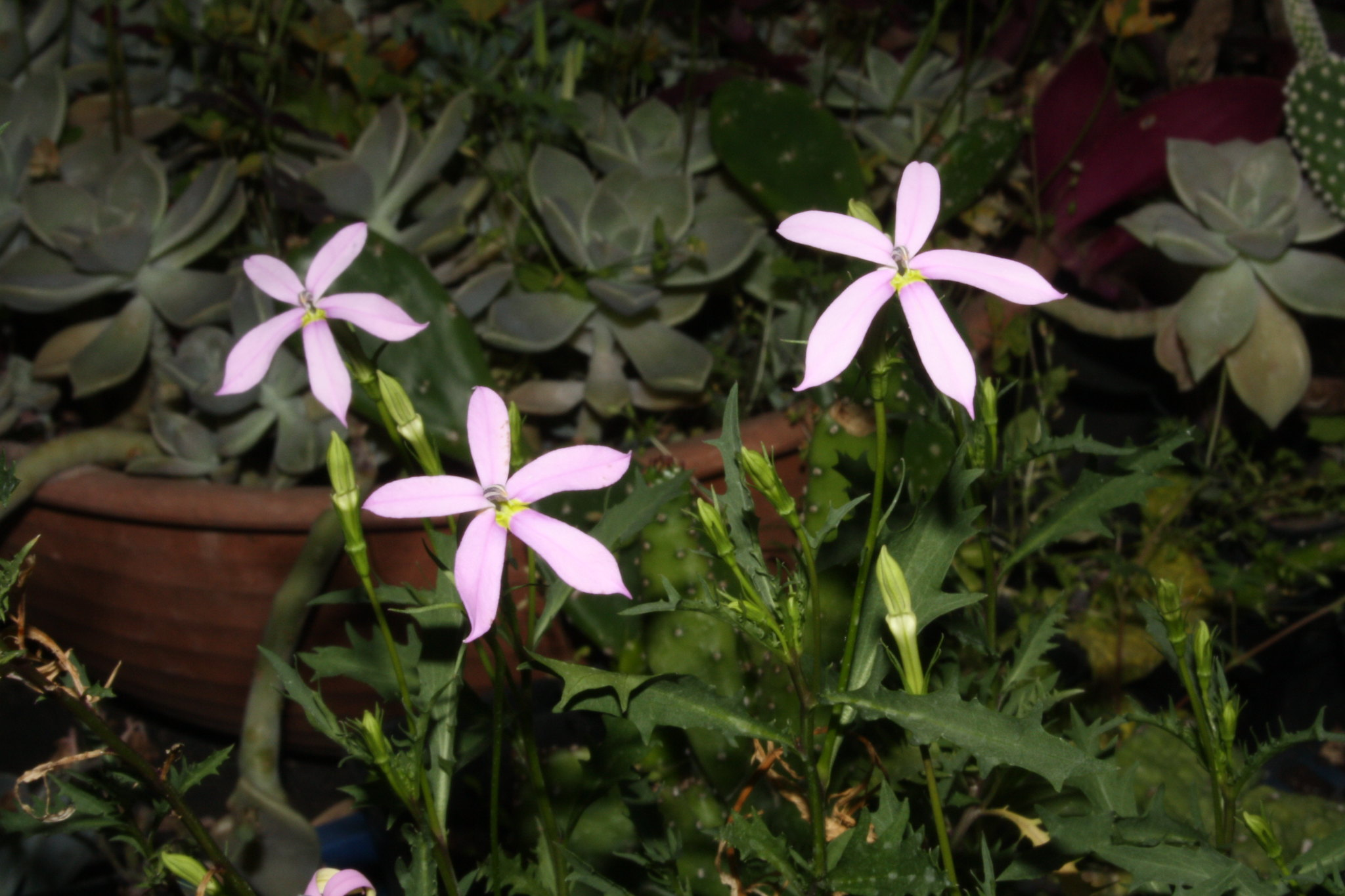 Laurentia axillaris en rosa